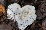HSNP North Mt Fungus Heart
