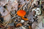 HSNP North Mt Orange Fungus