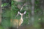 HSNP North Mt Whitetail Deer