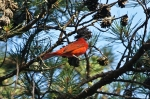 HSNP North Mt Male Summer Tanager