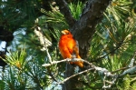 HSNP North Mt Juvenile Male Scarlet Tanager