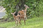 HSNP North Mt Whitetail Doe and Twin Fawns