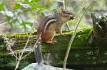 HSNP Goat Rock Trail Chipmunk
