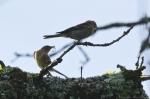 HSNP Goat Rock Trail Nesting Warbler