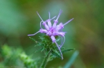 HSNP Hot Springs Mt Trail Blazing Star