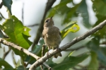 HSNP North Mt Summer Tanager Chick