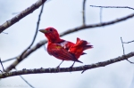 HSNP North Mt Summer Tanager Juvenile male