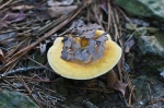 Cedar Glades Park Blue Trail Yellow Fungus