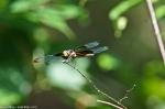 Cedar Glades Park Blue Trail Dragonfly