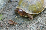Cedar Glades Park Blue Trail Male Box Turtle