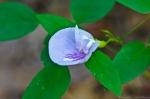 Cedar Glades Park Blue Trail Butterfly Pea