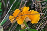 Cedar Glades Park Blue Trail Orange Peel Fungus