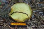 Cedar Glades Park Blue Trail Sad Fungus