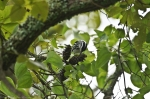 HSNP Goat Rock Trail Black & White Warbler