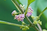 HSNP Upper Dogwood Trail American Beautyberry Flowering