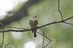 HSNP Upper Dogwood Trail Eastern Wood Pewee