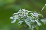 HSNP North Mt  Hoary Mountain Mint