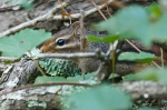 HSNP Hot Springs Mt Trail Chipmunks