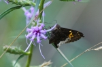 HSNP Hot Springs Mt Trail Silver Spotted Skipper