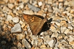 HSNP Upper Dogwood Trail Silver Spotted Skipper