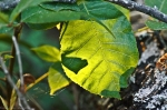 HSNP Goat Rock Trail Illuminated Leaf