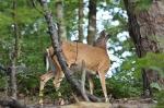 HSNP Hot Springs Mt  Whitetail Deer