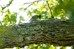 HSNP North Mt Downy Woodpecker