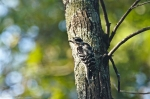 HSNP Hot Springs MT Trail Downy Woodpecker