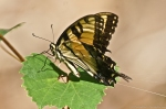 HSNP North Mt Eastern Tiger Swallowtail Butterfly