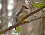 HSNP Honeysuckle trail Cedar Waxwing