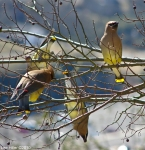 HSNP Hot Springs Mt Trail Pagoda Cedar Waxwing