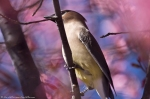 HSNP Hot Springs Cherry Tree Cedar Waxwing