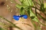 HSNP Asiatic Dayflower
