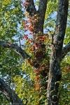 HSNP Autumn Leaves Virginia Creeper