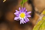 HSNP Purple Aster