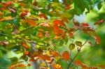 HSNP Autumn Leaves