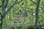 HSNP Camouflaged Whitetail Deer