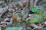 HSNP Upper Dogwood Trail Chipmunk