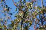 HSNP Goat Rock Trail Blue-Headed Vireo
