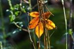 HSNP Goat Rock Trail Autumn Leaf