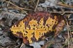 HSNP Hot Spring Mt Trail Autumn Leaf
