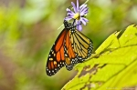 HSNP North Mountain Monarch Butterfly