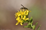 HSNP North Mountain Wasp and Goldenrod