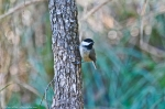 HSNP North Mt Chickadee