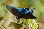 HSNP North Mt Pipevine Swallowtail Butterfly