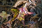 HSNP Hot Springs Mt Trail Colorful Autumn Leaf