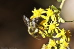 HSNP North Mt Honey Bee on Goldenrod