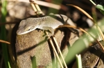 HSNP North MT Anole
