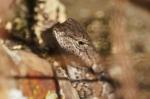 HSNP Goat Rock Trail Prairie Lizard