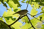 HSNP Upper Dogwood Trail Golden-Crowned Kinglet